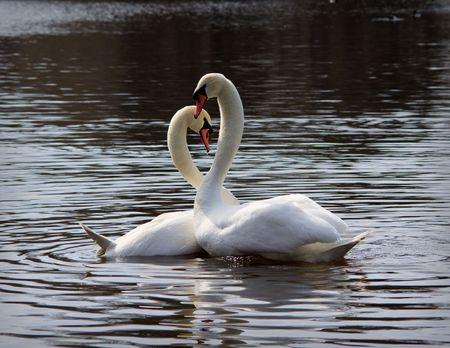 birds lake: Pair of white swans on a pond. Close up.