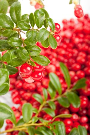 mountain cranberry: Fresh cowberry with green leaves. Selective focus. Close up. Stock Photo