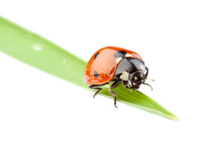 Ladybird on a green grass over white background. A close up. Stock Photo - 5700717