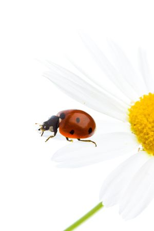 Ladybird on a daisy over white background. A close up. Stock Photo - 5729299