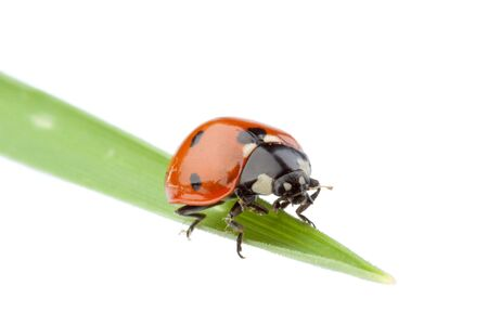 Ladybird on a green grass over white background. A close up. Stock Photo - 5831927