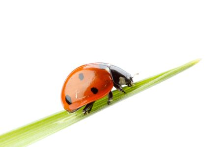 Ladybird on a green grass over white background. A close up. Stock Photo - 6087679
