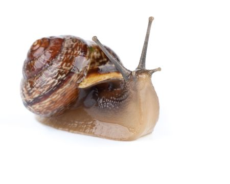 slithery: Small garden snail on a white background Stock Photo