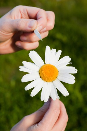 Camomile in female hands on a green grass background.  Fortune-telling on a camomile. photo