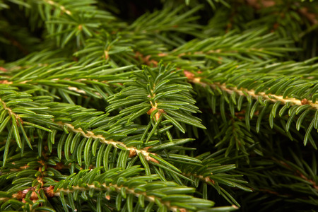 Background from green branches of fir tree. Fir-tree. Spruce. Stock Photo