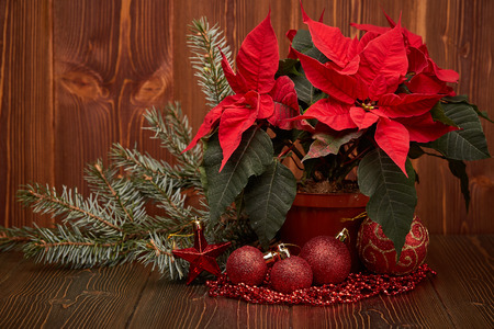 christmas decoration with red poinsettia flowers euphorbia pulcherrima fir branch red balls