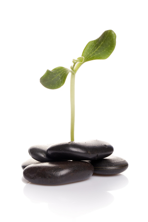 Small green sprout among stones on a white background. Concept of green peace. Gardening and protection of environment. Stock Photo