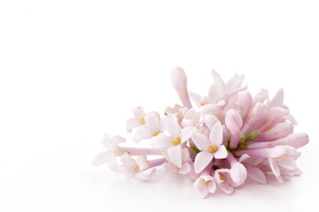 Sprig of lilac flowers isolated on a white background.