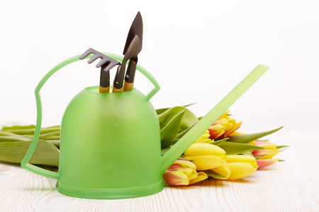 Gardening tools, watering can and fresh tulips flowers are laying on a wooden table on a white background. Concept of spring gardening.