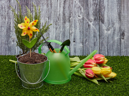 Still life with gardening tools, watering can, bucket with the soil, fresh tulips  laying on a green grass on a grey wooden background. Concept of spring gardening.