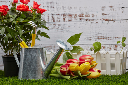 Still life with gardening tools, watering can,  young sprouts,roses and tulips flowers  on a green grass on a light wooden background. Concept of spring gardening.