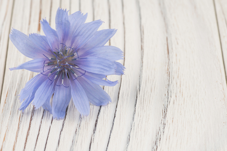 liverwort: Lilac field flower on white old wooden table. Selective focus.
