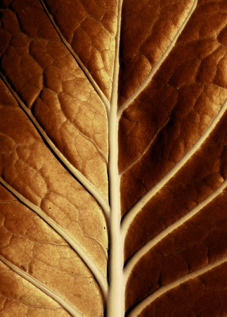 tobacco leaf: A golden leaf lit by the sun