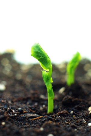 emerging economy: growing little plant of pea Stock Photo