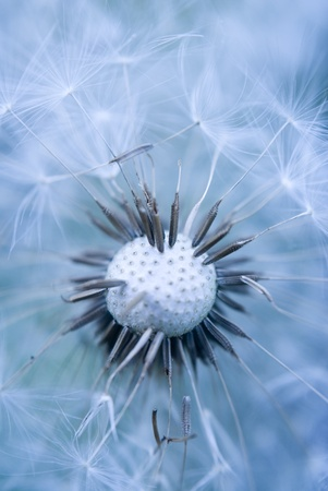 Dandelion abstract blue of background photo