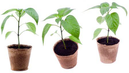 turba: plántulas pimienta fresca se encuentra en macetas de turba sobre un fondo blanco