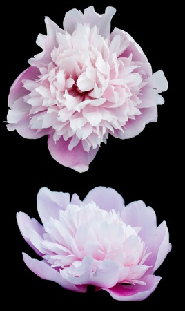 Aster - flower background  isolated on black Stock Photo