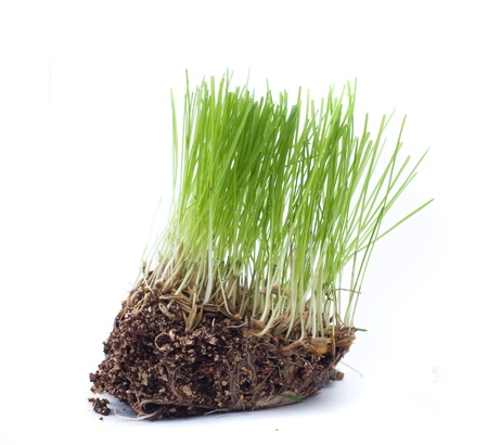 Green grass with roots of closeup isolated on white Stock Photo