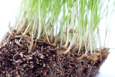 Green grass with roots of closeup photo