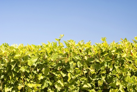 hedgerow: hedgerow of scrubs on blue sky background