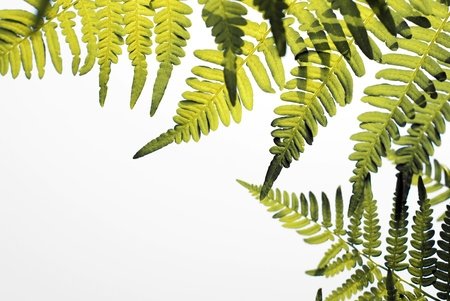 Fern with sun light isolated on white photo