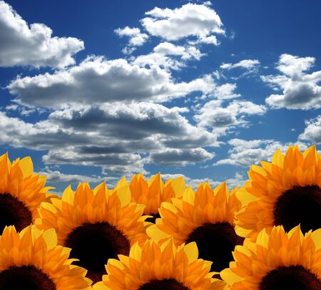 sunflower and sky photo