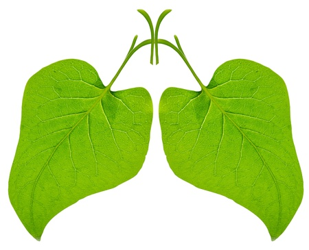 green lungs from leaf isolated on white photo