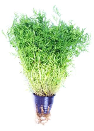 Hydroponic green dill isolated on white photo