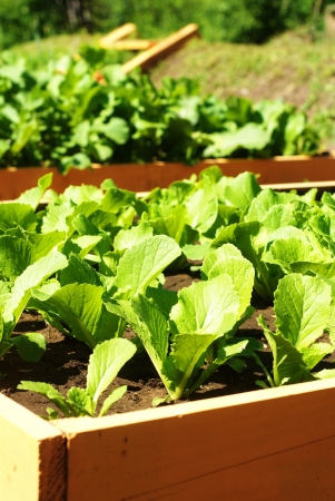 young green lettuce growing on vegetable bed