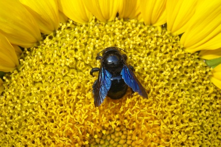 big fly with blue wing on sunflower  photo