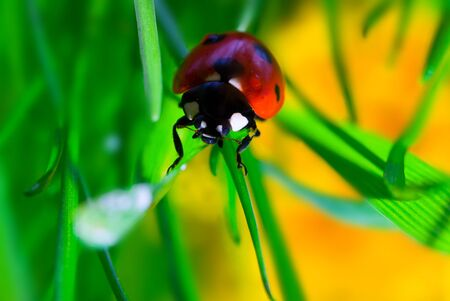 lady bug: ladybird on grass leaf, macro shot Stock Photo
