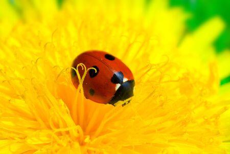 ladybird on dandelion macro shot of closeup photo
