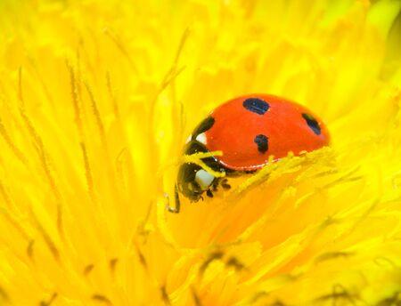 ladybird on dandelion macro shot of closeup Stock Photo - 13446716