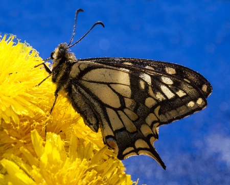 butterfly on bouquet dandelions with blue sky Stock Photo - 13809648