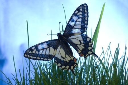 mariposa azul: mariposa en la hierba verde con cielo azul