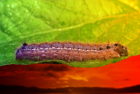 caterpillar on a green leaf with sunset. macro shot photo