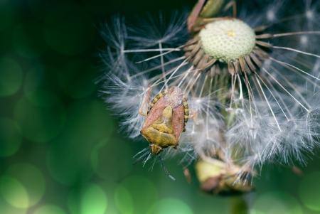 Shield bug sitting on overblown dandelion photo