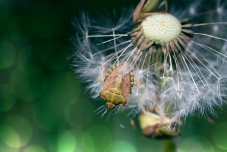 shield bug: Shield bug sitting on overblown dandelion