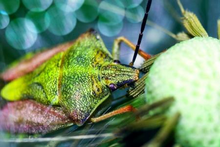pentatomidae: Shield bug (Pentatomidae) sitting on overblown dandelion