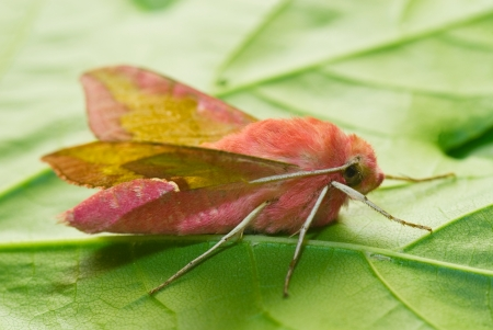 pink Deilephila porcellus (primrose) moth on  green leaf
