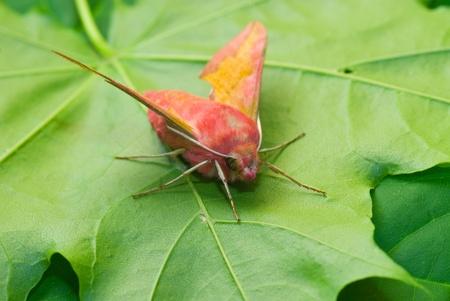 lunares rojos: polilla de la primavera de color rosa en la hoja verde
