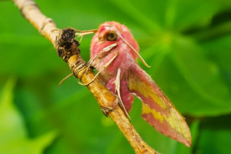 pink primrose moth on branch