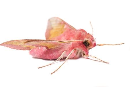 lunares rojos: Deilephila porcellus aislado en blanco