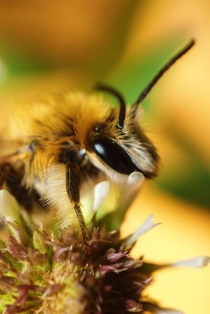bee on white clower. macro shot Stock Photo - 15753809