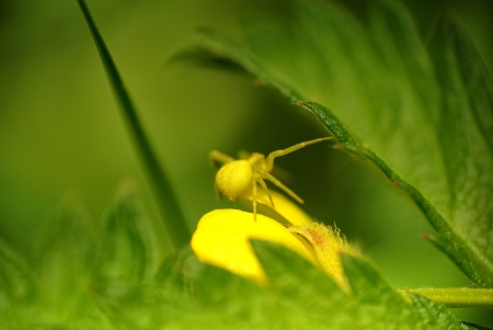 goldenrod spider: small yellow crub spider on green leaf
