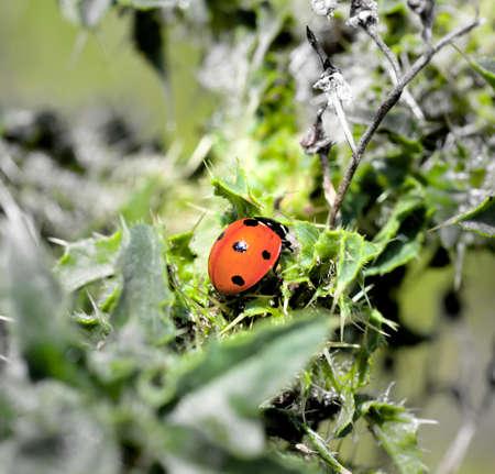 prickle: ladybird creeping up on prickle