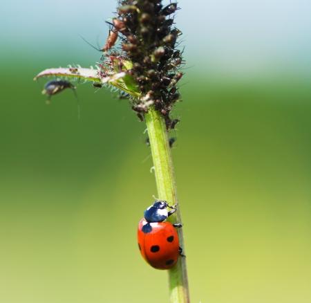 caulis: the ladybug creeps on a stalk to a plant louse Stock Photo