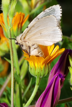 mori: Silk Moth on yellow flower Stock Photo