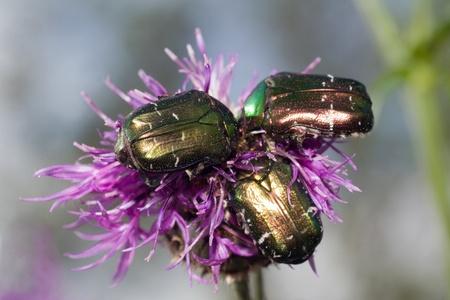 Three Bug on small purple  flower. Cetonia aurata  photo