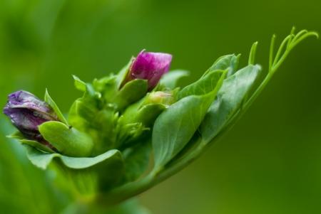 green peas: pea flower closeup  of macro shot